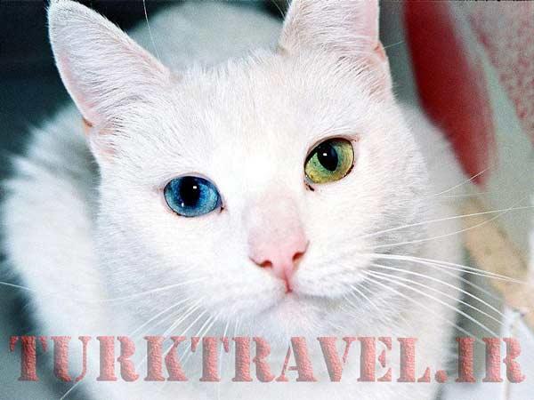 گربه های وان با چشم های دو رنگ