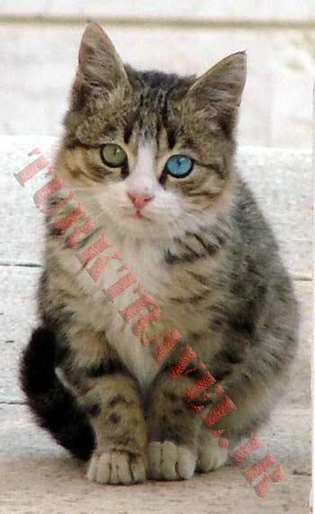 گربه نژاد ایرانی با چشم دو رنگ