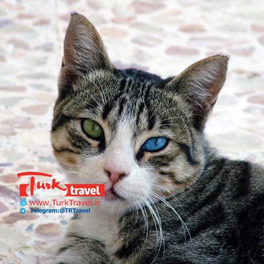 گربه با رنگ چشم متفاوت